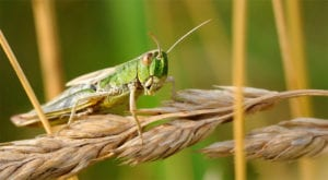 What is a locust