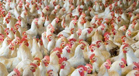 پشاور ہائیکورٹ نے مرغی اور گوشت افغانستان برآمد کرنے پر پابندی عائد کردی