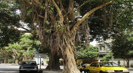Sindh govt declares Karachi's banyan trees 'protected heritage'