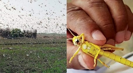 Federal minister assures CM Sindh of full support in locust control
