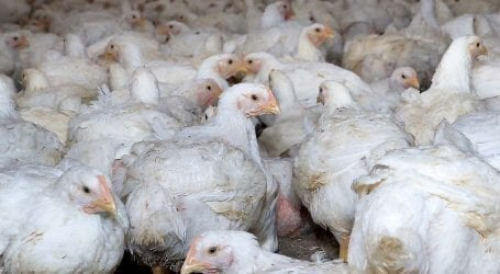 Chicken prices fall due to coronavirus crisis