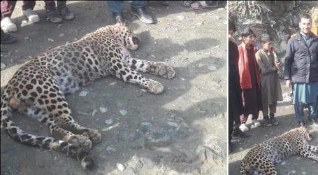 Snow leopard killed by villagers in Swat