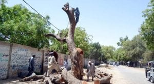 65 heritage trees cut down by Lahore Electric Supply Company
