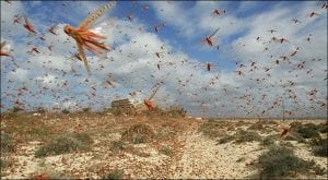 Food ministry decides to declare emergency over locusts attack