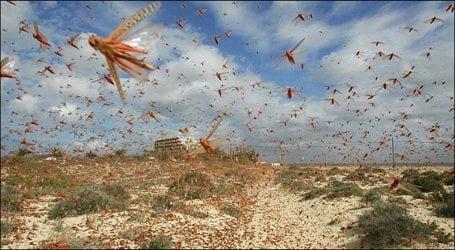 Locust attacks destroy crops in Karachi's suburbs areas