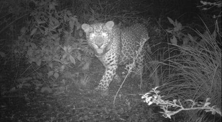 Leopards spotted in Margalla Hills National Park