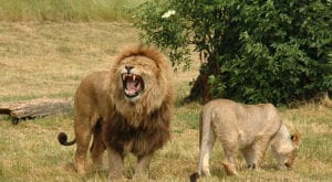 Islamabad Zoo's lions die while being moved to Lahore sanctuary