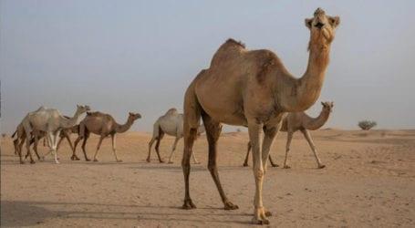 World's biggest camel hospital inaugurated in Saudi Arabia