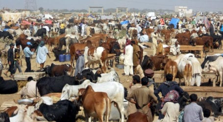 Sindh govt allows cattle markets to operate