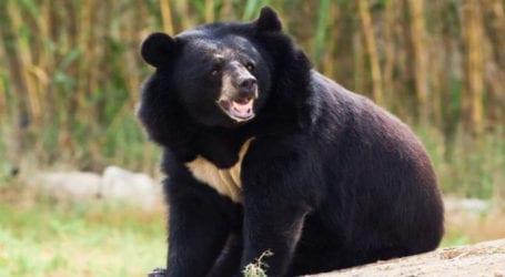 Asian black bear kept illegally traced in Tando Adam