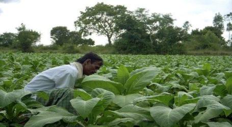 Pakistan's tobacco export soars 137.53 percent